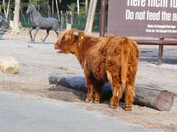 Highland Rinder  (2)