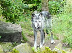 Timberwolf  (1)
