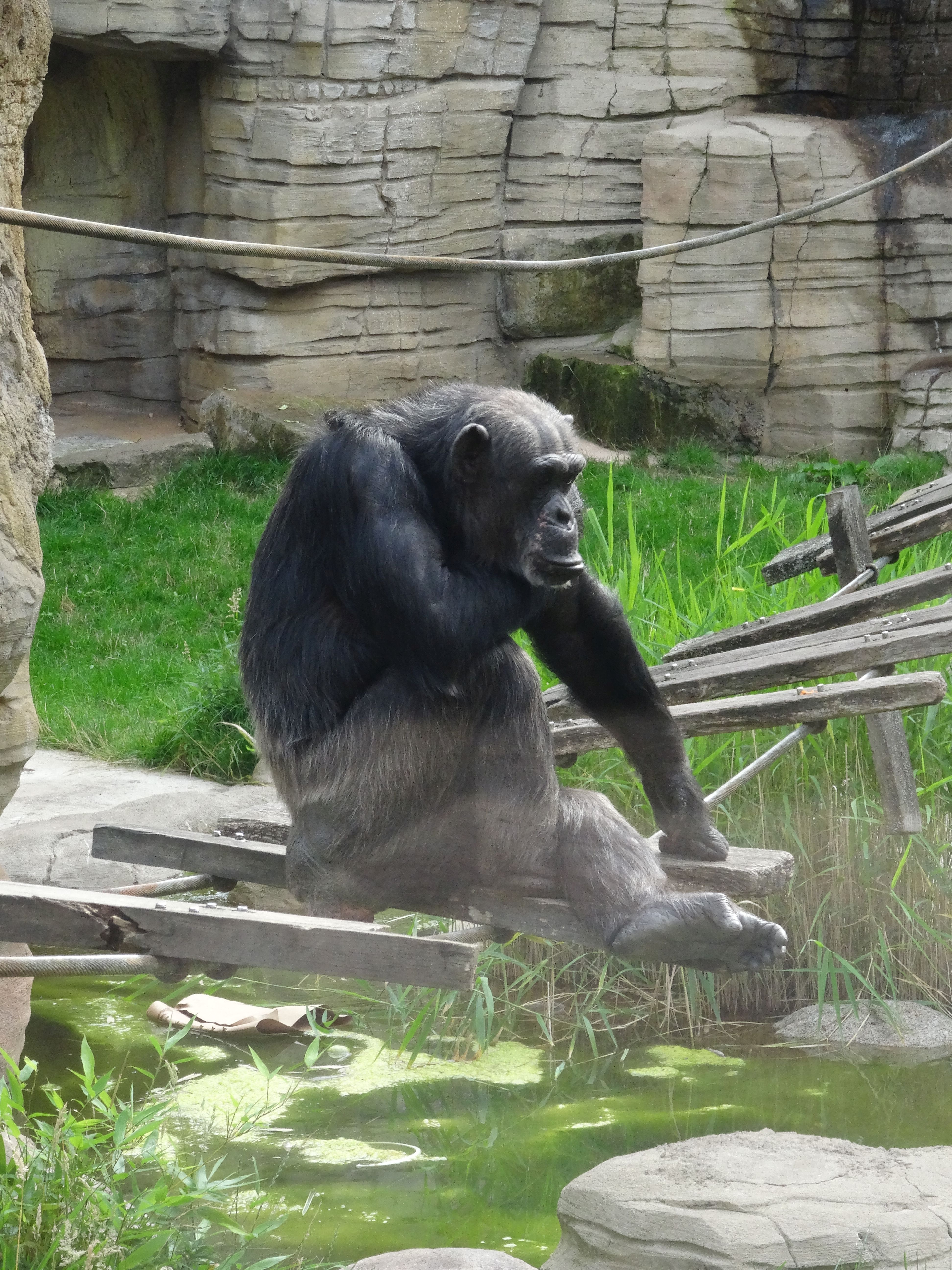 Schimpanse  (3)