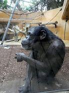 Schimpanse  (2).jpg