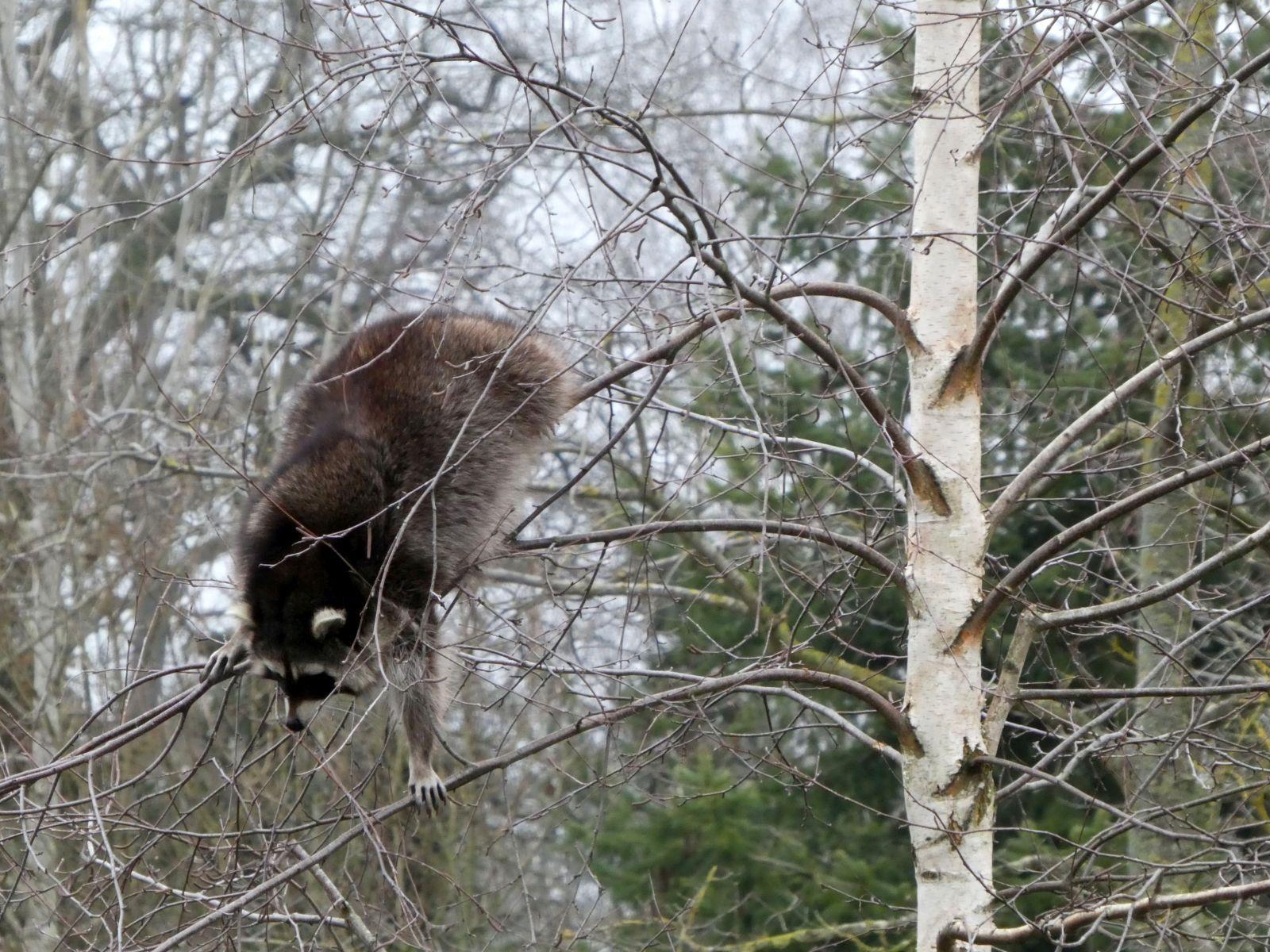 Waschbären  (10)