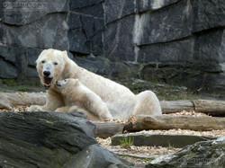 Eisbär  (54)