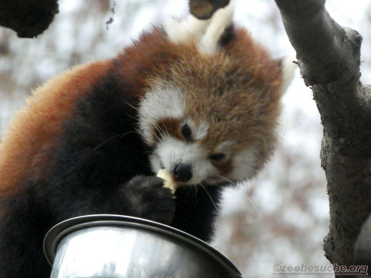 Roter Panda  (13)