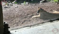 Puma (12)