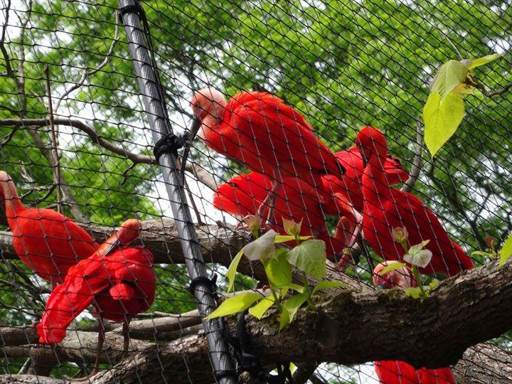 Rote Sichler