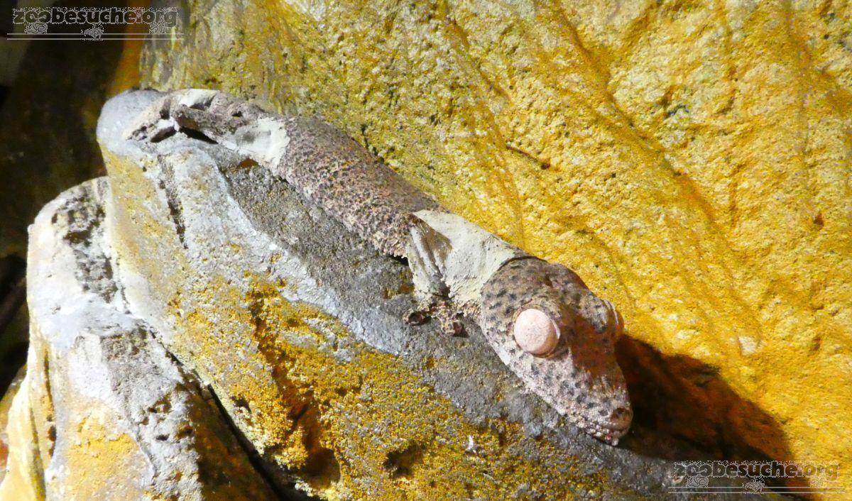 Plattschwanzgecko