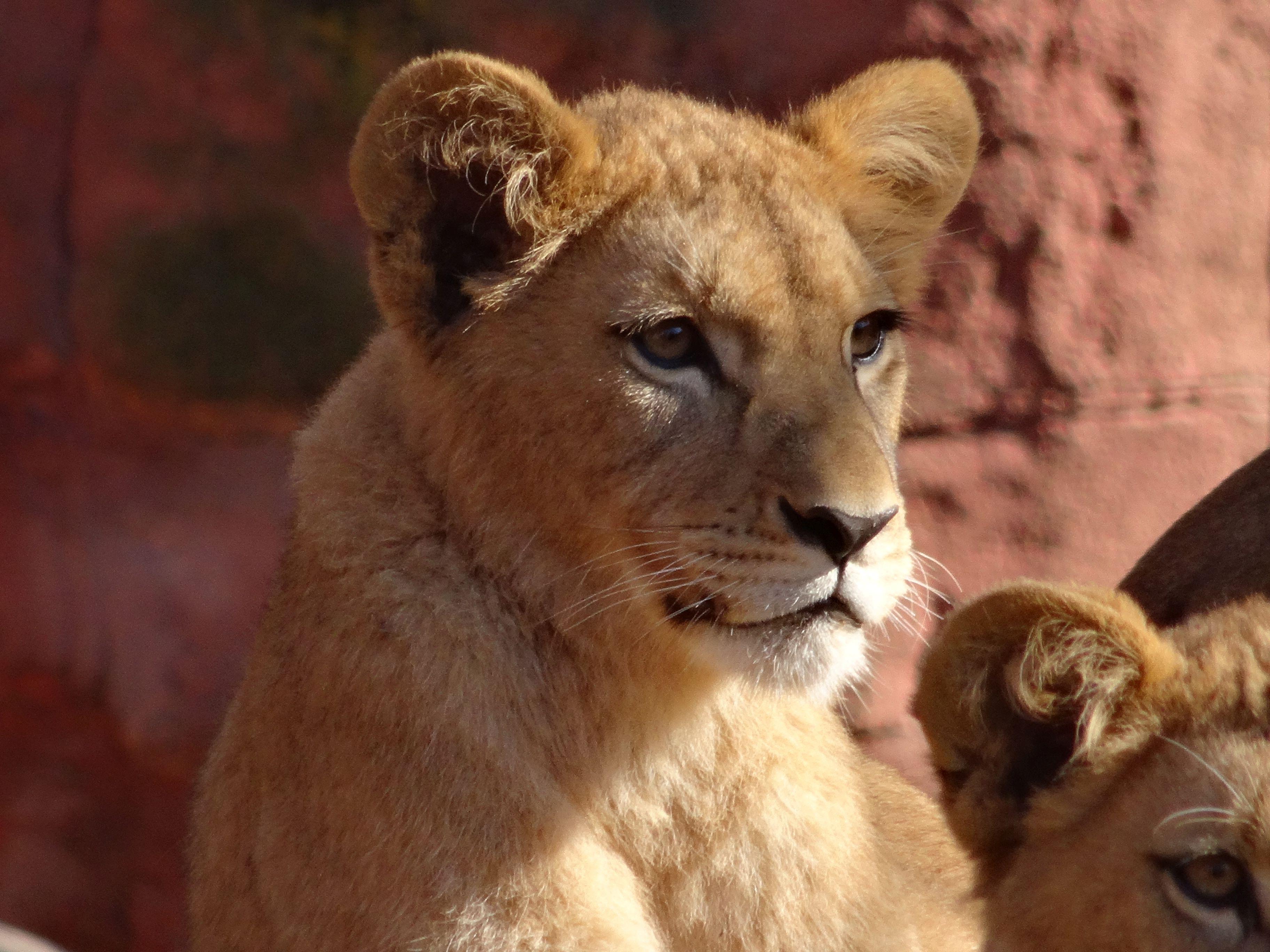 Löwen Jungtiere 2015