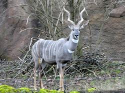 Kleiner Kudu  (2)