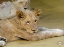 Afrikanischer Löwe (3)