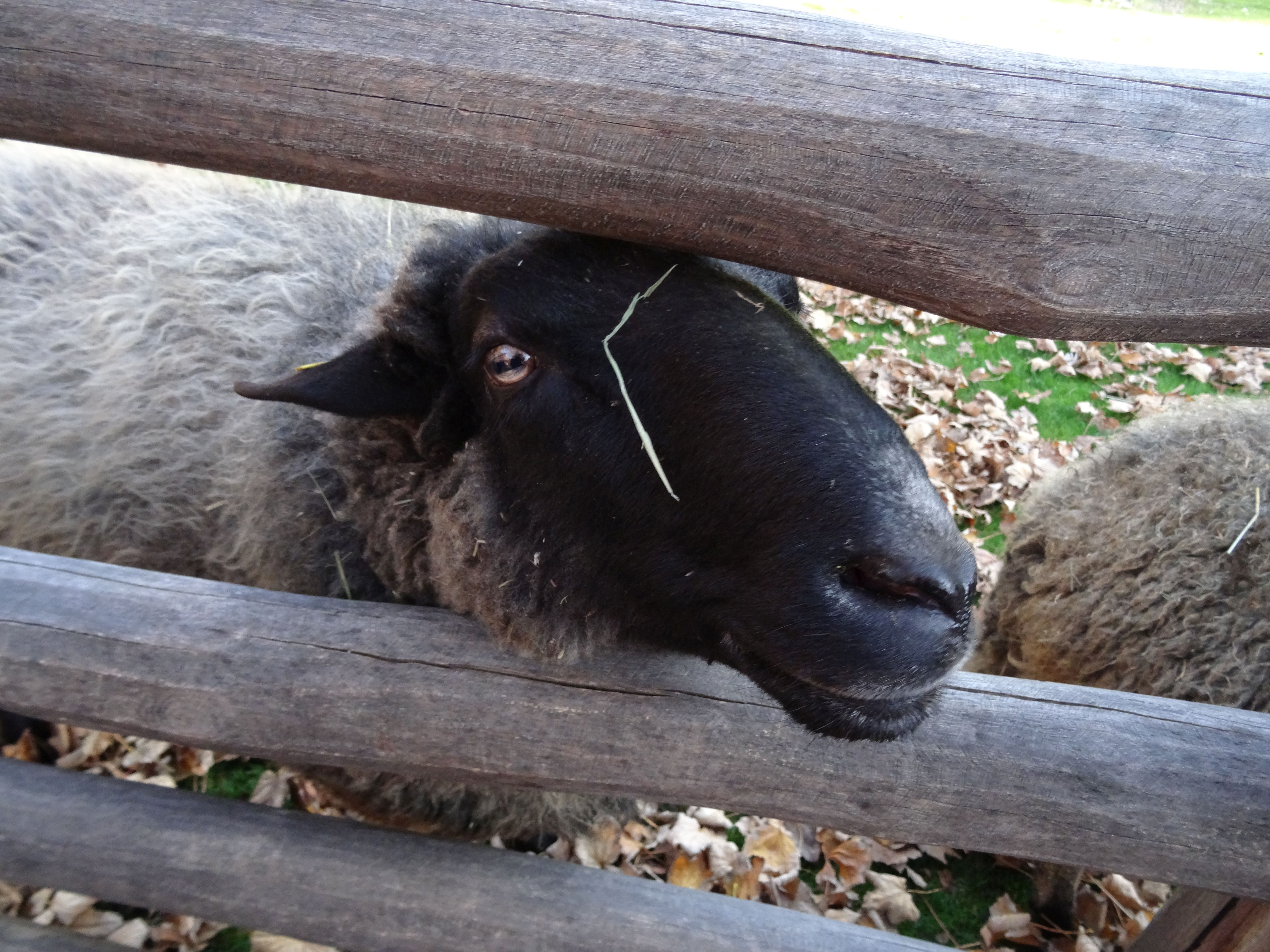 Schaf  (2)