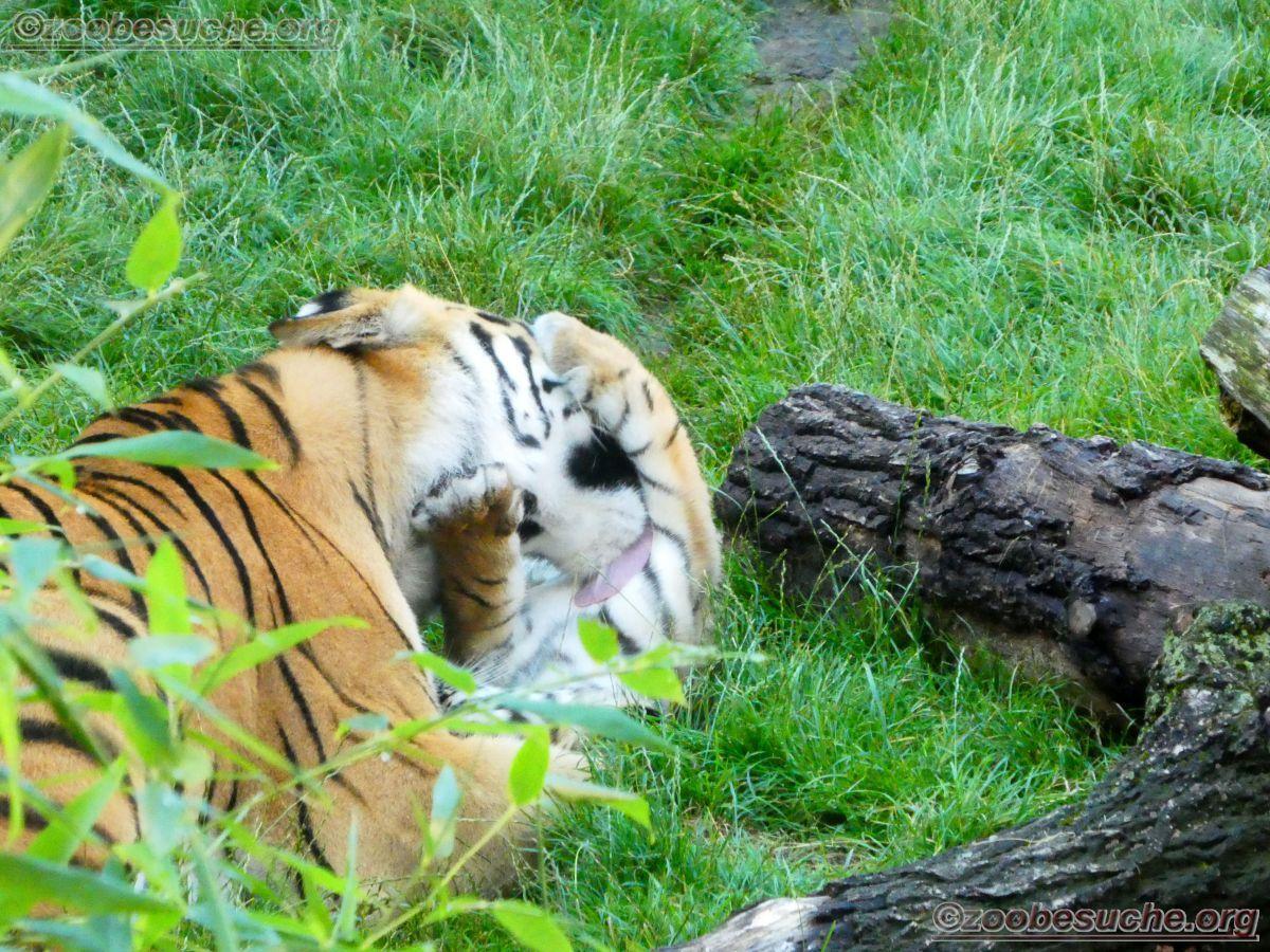 Tigerin Alexa mit jungtier  (2)