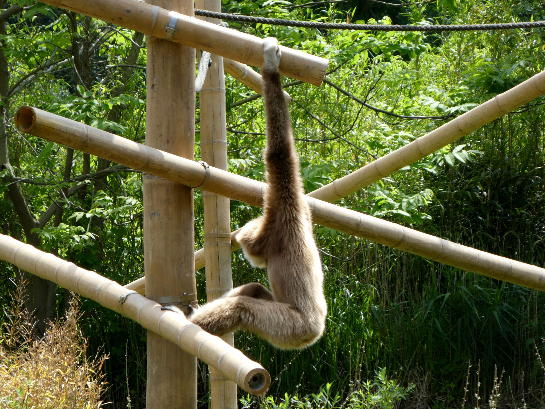 Gibbon  (1)