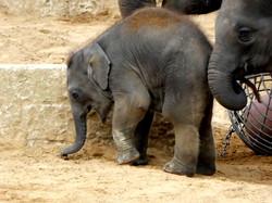 Elefantenbaby  (1)