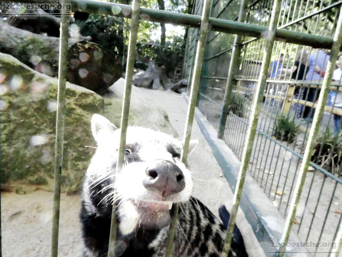 Afrikanische Zibetkatze  (6)