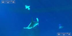 Hammerhai  (2)