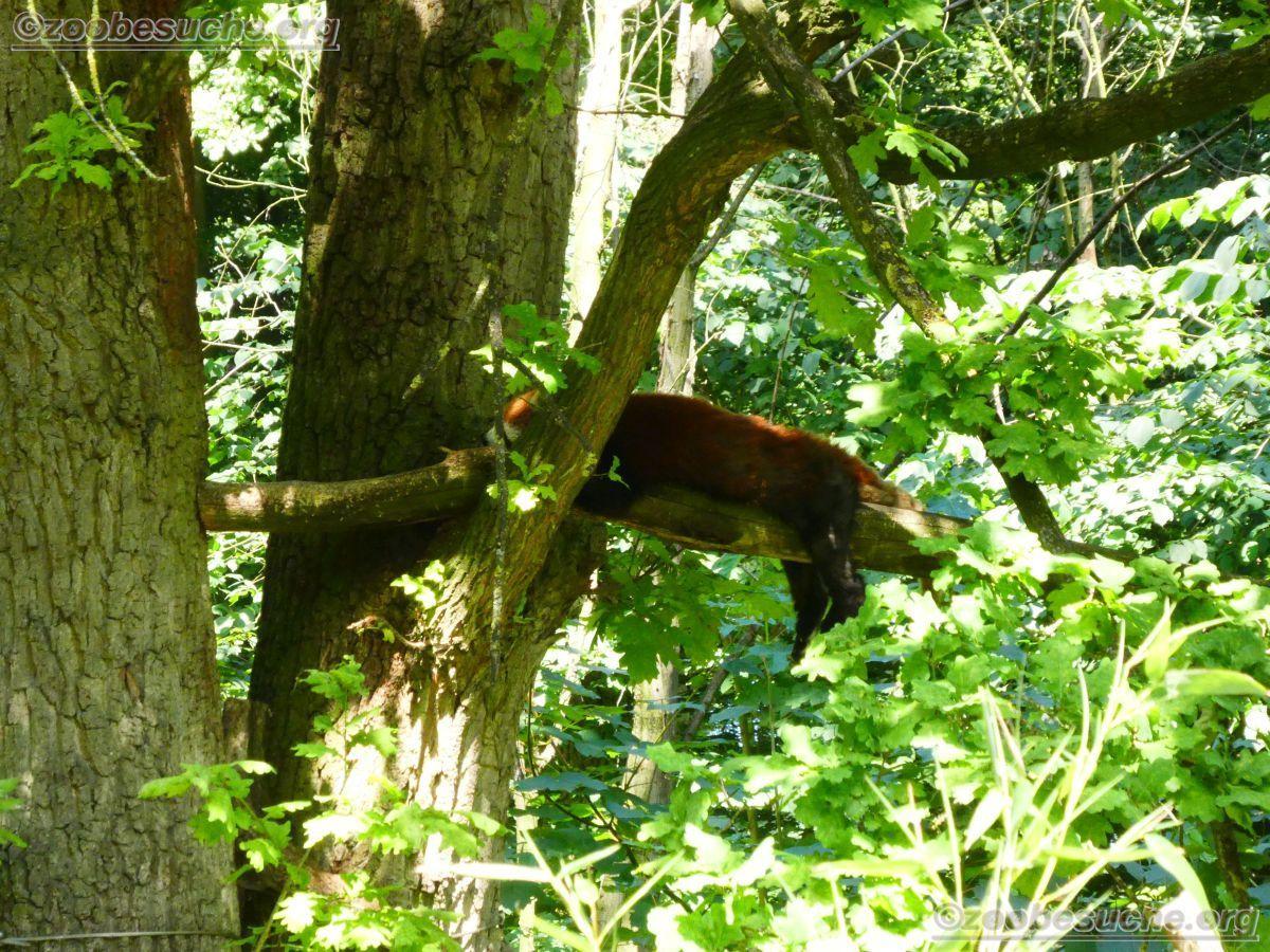 Roter Panda  (1)