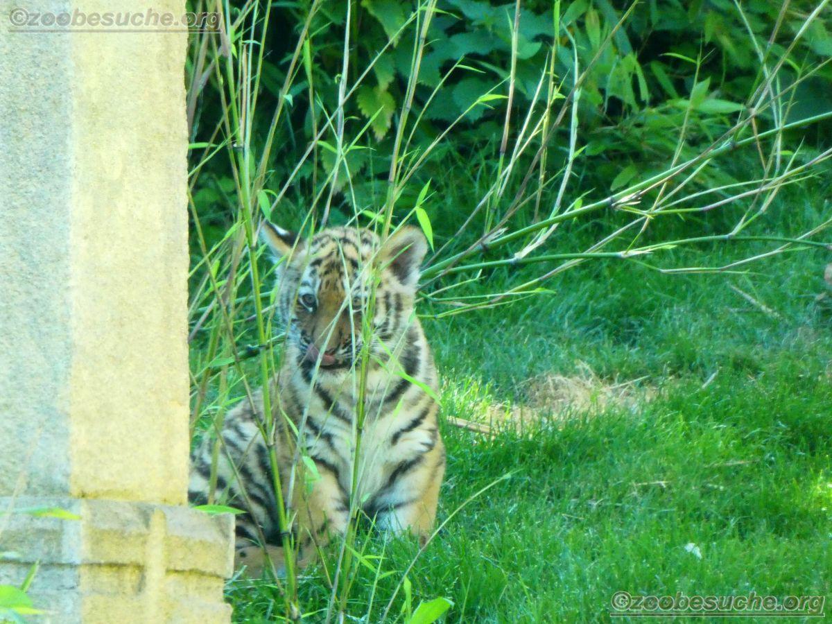 Tiger  (48)
