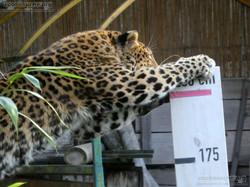 Leopard Julius  (26)