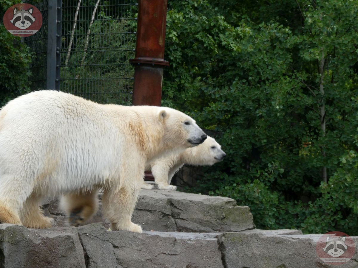 Eisbären_Milana_udn_Nana_(2)