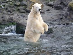 Eisbär  (2)