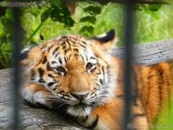 Tigerjungtiere  (2)