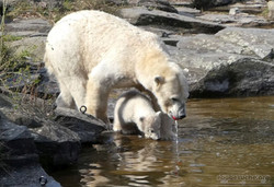 Eisbär  (92)