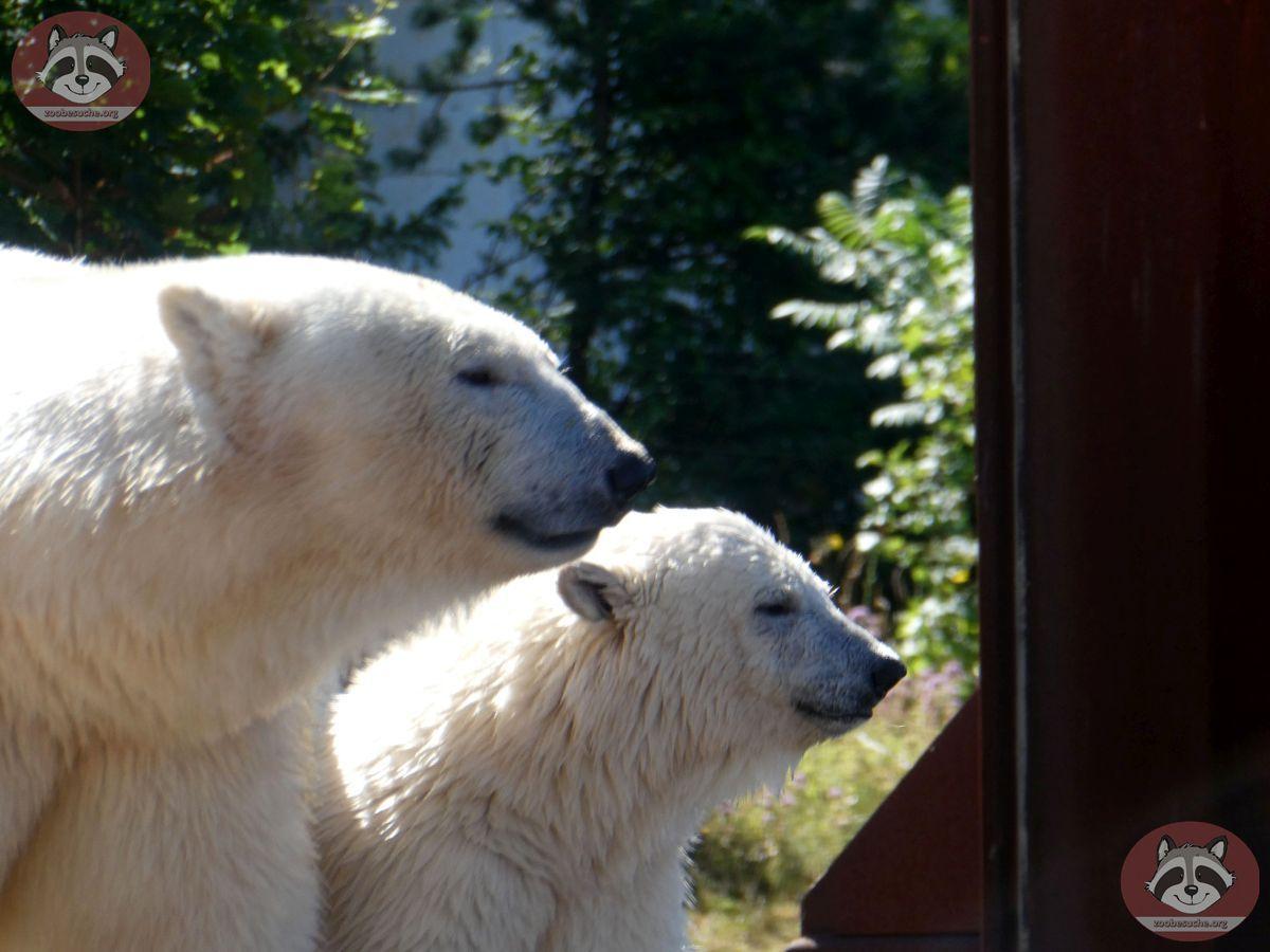Eisbären_Milana_und_Nana_(11)