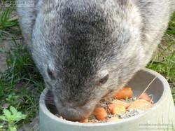 Nacktnasenwombat  (12)