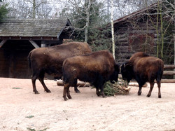 Bison  (1)