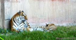 Tigerin Alexa mit Jungtier  (16)