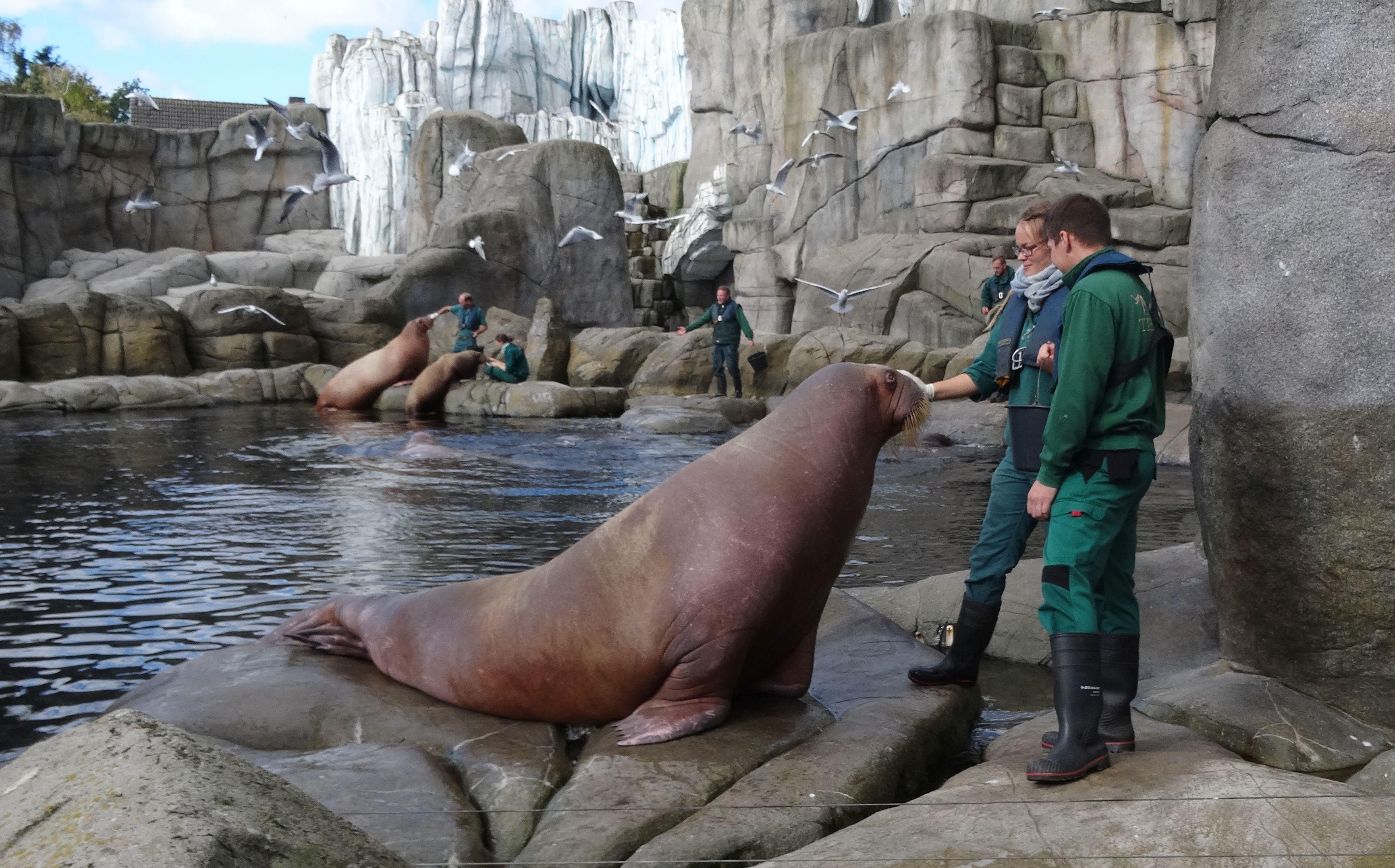Pazifisches Walross  (1)