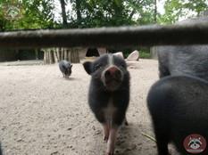 Hängebauchschwein (8).jpg