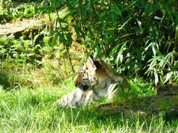 Tiger Jungtier (14)