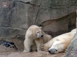 Eisbären_Milana_und_Nana_(9)