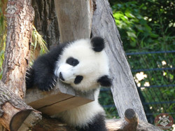 Panda Jungtier  (17)