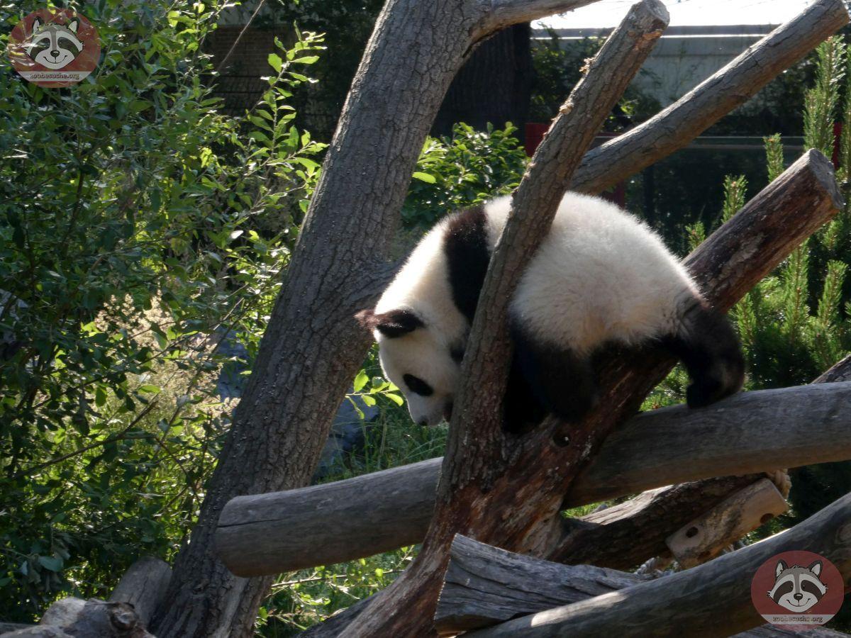 Panda Jungtier  (1)