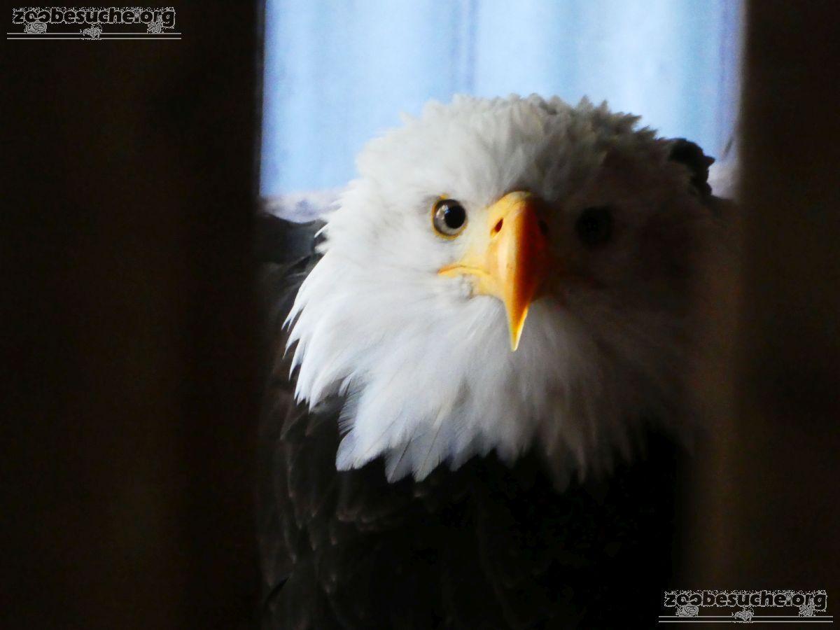 Weißkopfseeadler  (2)