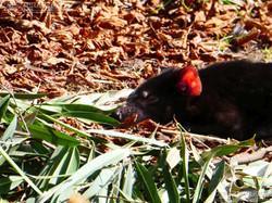 Tasmanischer Teufel  (2)