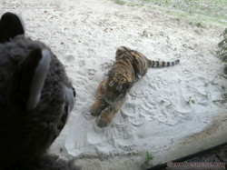 Tiger Jungtier mit Wuschel  (16)