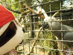 Graupapagai mit Wuschel (1)