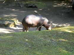 Zwergflusspferd  (3)