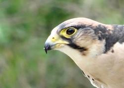 Falke  (2)