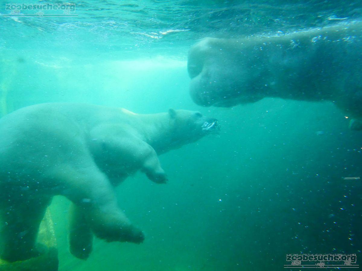 Eisbären_Milana_und_Sprinter__(27)