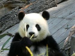 Panda  (87)