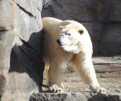 Eisbär 04