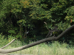 Weißscheitelmangabe
