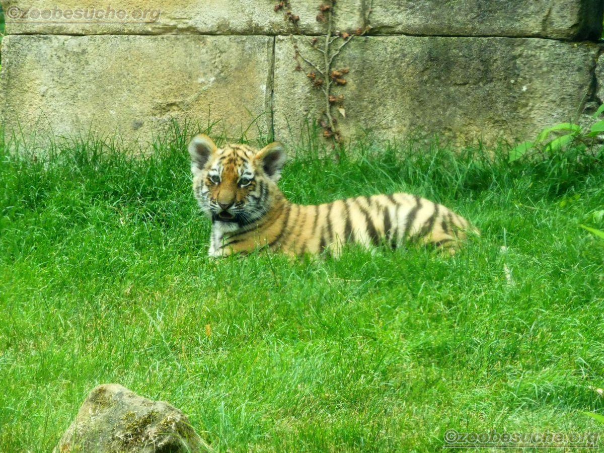Tiger Jungtiere  (17)