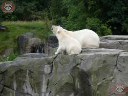 Eisbären_Milana_udn_Nana_(4)