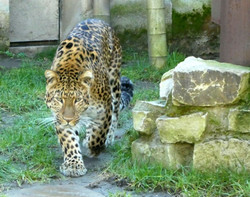 Leopard Julius  (2)