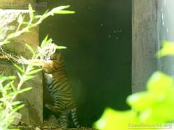 Tiger  (23)